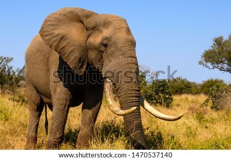 African Elephant tusker at close range  Royalty-Free Stock Photo #1470537140