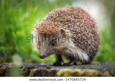 Cute common hedgehog on a stump in spring or summer forest during dawn. Young beautiful hedgehog in natural habitat outdoors in the nature. #1470685724