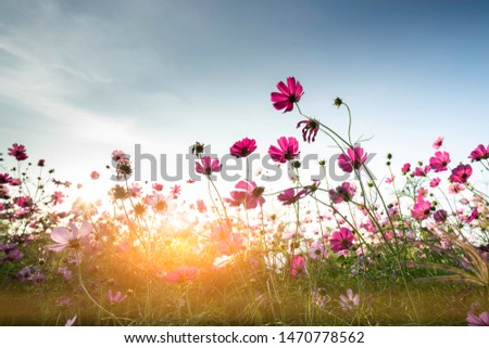 cosmos flower blooming in the field under sunshine #1470778562