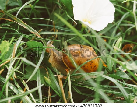 """A series of photos """"One day in the life of snails"""".Grape snail on the leaf against, on a blurred background. #1470831782"""