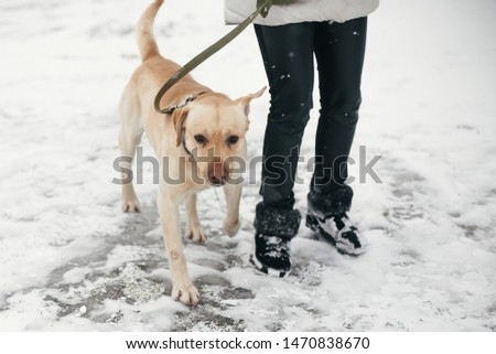 Cute golden labrador walking with owner in snowy winter park. Mixed breed labrador on a walk with person at shelter. Adoption concept. Stray dog #1470838670