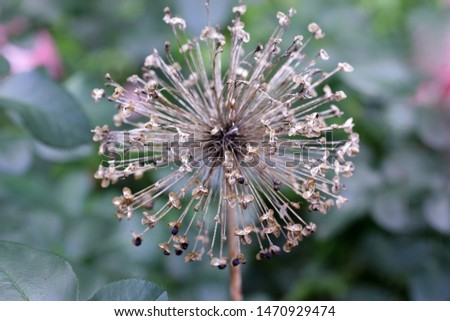 Dry inflorescence of decorative onions with seeds on a green background a close up macro. Allium. Amaryllidaceae Family.  #1470929474