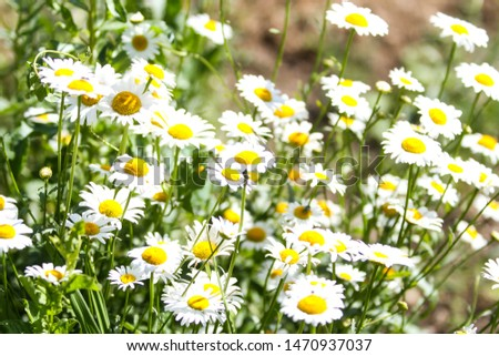 Beautiful whiete daisy blooming in a countryside park garden. #1470937037