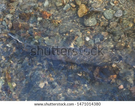 Salmon run in the fall on Pacific west coast. Goldstream river in British Columbia, Vancouver Island #1471014380