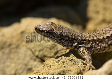 The sand lizard (Lacerta agilis) is a lacertid lizard. The habitat of the reptile is in a rocky area.  An old lizard resting on a rock on a Sunny day. The wise reptile, enjoy the passing life. #1471026359