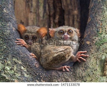 Spectral Tarsiers, waking up during dusk in Tangkoko national park, Indonesia