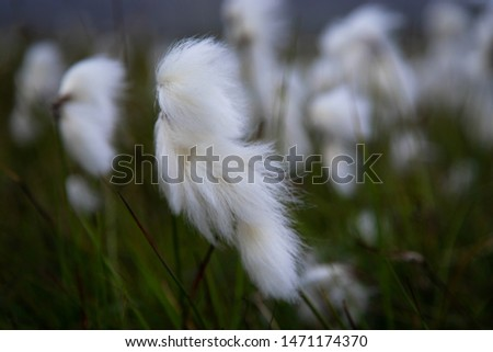 Icelandic cotton grass in summertime #1471174370
