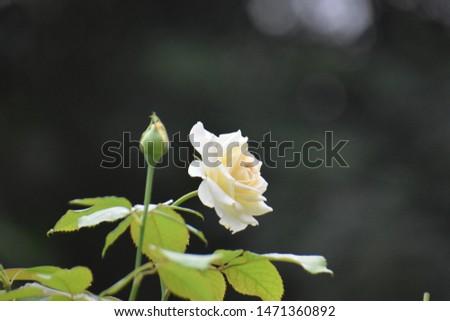 White Rose in India HP #1471360892