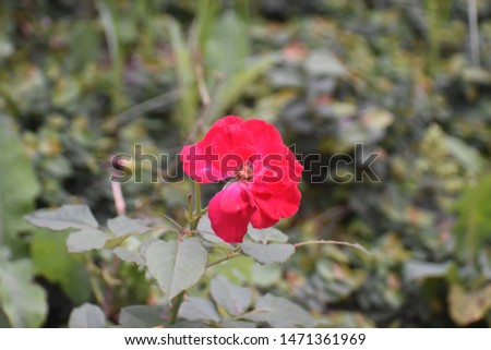 Red rose in India HP #1471361969