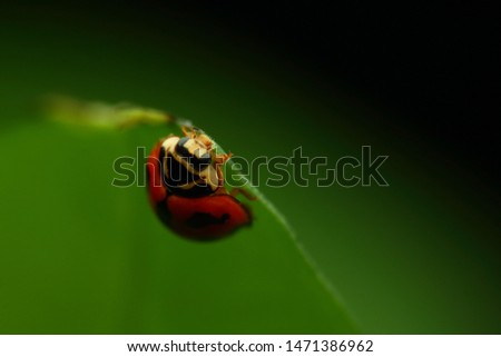 Cheilomenes sexmaculata is a species of ladybird. It was described by Johan Christian Fabricius in 1781. It is well known as a predator of aphids and other small insects #1471386962