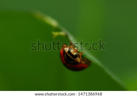 Cheilomenes sexmaculata is a species of ladybird. It was described by Johan Christian Fabricius in 1781. It is well known as a predator of aphids and other small insects #1471386968