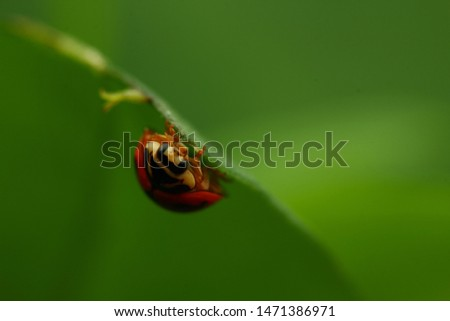 Cheilomenes sexmaculata is a species of ladybird. It was described by Johan Christian Fabricius in 1781. It is well known as a predator of aphids and other small insects #1471386971