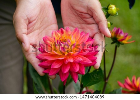 The picture of the Asian woman's hand holds orange pink with yellow dahlia flower, surrounded with fresh and green morning atmosphere in the beautiful botanical garden in the northern of Thailand