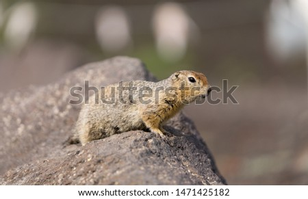 Portrait of a brave curious ground squirrel (Latin: Spermophilus. Also known as suslik or souslik) looking around on the rock. Base camp under Avacha volcano in Kamtchatka peninsula, Russian far East. #1471425182