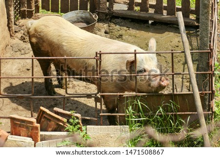 Picture of cute domestic pig #1471508867