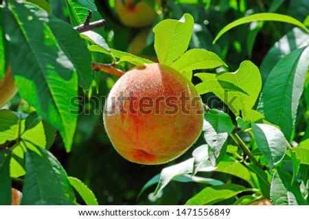 Fruits of ripe red peach on a background of green peach foliage in the garden #1471556849