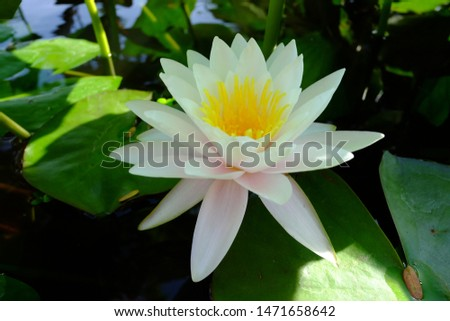 beautiful lotus flower or water lily in pond #1471658642