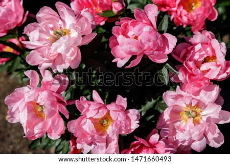 Pink peony flower on a blurred green background. Peony grade Ludovica. The concept of spring. #1471660493