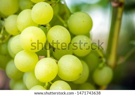 Close-up of bunches of ripe wine grapes on vine #1471743638