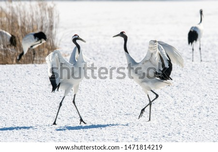 Dancing Cranes. The ritual marriage dance of cranes. The red-crowned crane. Scientific name: Grus japonensis, also called the Japanese crane or Manchurian crane, is a large East Asian Crane. #1471814219