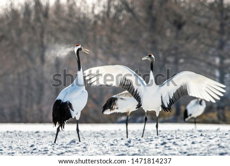 Dancing Cranes. The ritual marriage dance of cranes. The red-crowned crane. Scientific name: Grus japonensis, also called the Japanese crane or Manchurian crane, is a large East Asian Crane. #1471814237