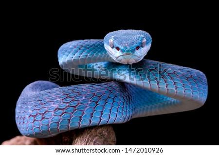 Blue viper snake closeup face, viper snake, blue insularis, Trimeresurus Insularis, animal closeup #1472010926