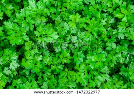 Parsley grows in the garden. It is grown outdoors in the garden area. Green background of parsley leaves, top view close-up #1472022977