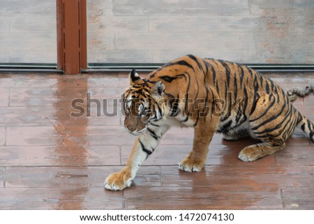 tiger in a spanish zoo #1472074130