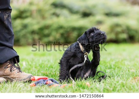 person trains with a standard schnauzer puppy on a dog training field #1472150864