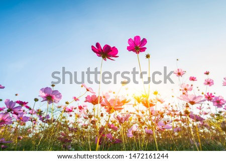 cosmos flower blooming in the field under sunshine #1472161244