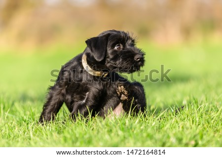 standard schnauzer puppy sits on the meadow and scratches himself behind the ear #1472164814