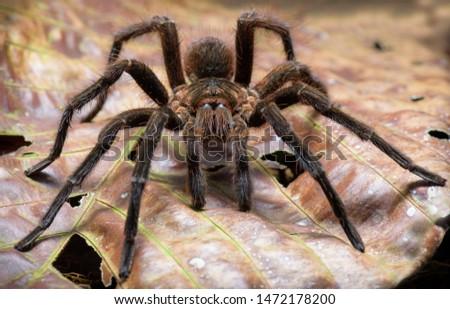 Tarantula spider Pamphobeteus arachnid Amazon