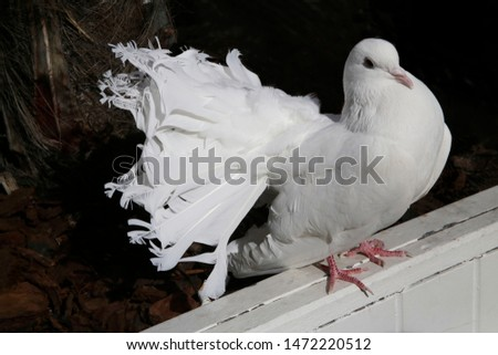 White fantail pigeon. Domestic dove sitting on wooden bar. Decorative bird. #1472220512