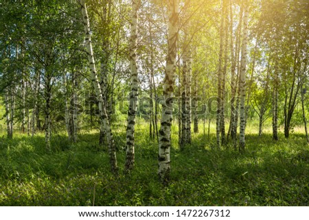 Birch Grove. Forest in the summer season, Russia #1472267312