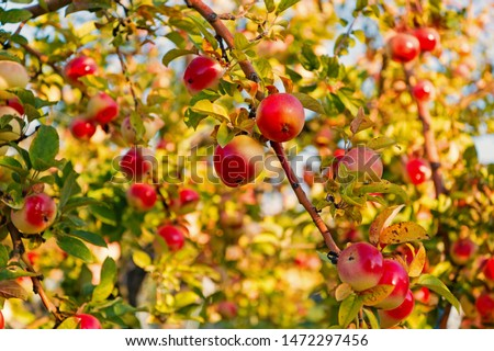 Apples red ripe fruits on branch sky background. Apples harvesting fall season. Gardening and harvesting. Organic apple crops farm or garden. Autumn apples harvesting season. Rich harvest concept. #1472297456
