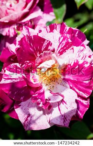 beautiful roses of rare pattern 6 #147234242