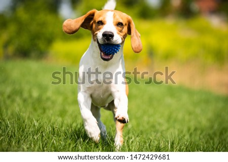 Beagle dog runs through green meadow with a ball. Copy space domestic dog concept. Dog fetching blue ball. #1472429681