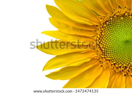 close on beautiful head of sunflower blooming on white background  #1472474135