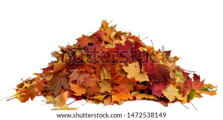 Pile of autumn colored leaves isolated on white background.A heap of different maple dry leaf .Red, yellow and colorful foliage  #1472538149