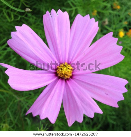 Macro photo of a beautiful flower wild daisy. Daisy flower with violet lilac petals. Blooming chamomile grows in the meadow against the background of plants and grass. #1472625209