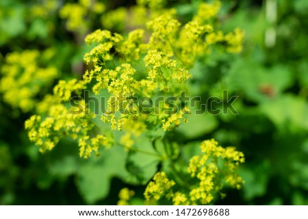Alchemilla mollis blooms in summer #1472698688