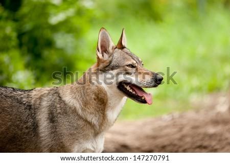 wolf in summer #147270791