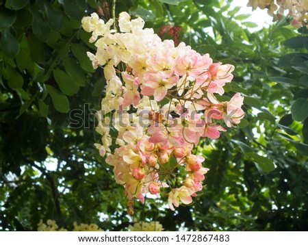 Cassia bakeriana,(Cassia x nealiae H.S. lrwin & Barnebe), (FABACEAE)  a brightly colors are eye-catching , pinkish white flowers are bloomingin the garden. #1472867483