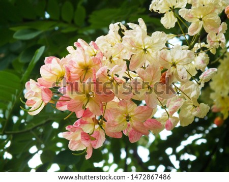 Cassia bakeriana,(Cassia x nealiae H.S. lrwin & Barnebe), (FABACEAE)  a brightly colors are eye-catching , pinkish white flowers are bloomingin the garden. #1472867486