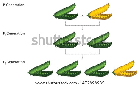 Mendel Genetic Concept Crossing Pea Plant Experiment Parental Generation and Pea Pod Seed With Labels Mendel's Laws Mendel's Experiments Education Vector Illustration Royalty-Free Stock Photo #1472898935