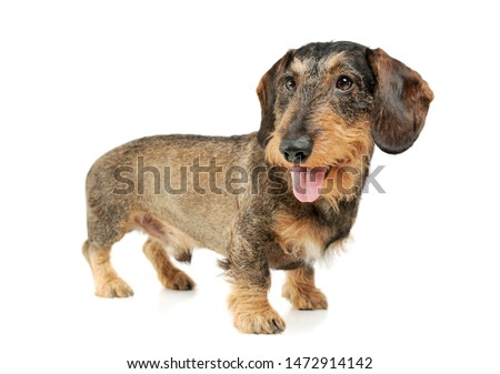 Studio shot of an adorable wire-haired Dachshund standing and looking satisfied - isolated on white background. #1472914142