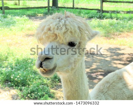 Adorable white Alpaca posing for a picture. A close-up of an Alpaca face.