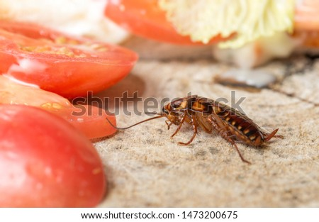 The problem in the house because of cockroaches living in the kitchen.Cockroach eating whole wheat bread on  wood cutting board background. Cockroaches are carriers of the disease.