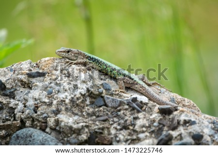 The lizard Lacerta viridis sits on a stone under the sun with green background. Background lizard on stone close up. Background detailed image of a lizard. #1473225746
