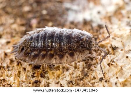 common rough woodlouse a crustacean #1473431846